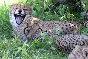 Cheetah cubs at E. Beyond the Big 5 in the Maasai Mara