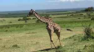 Giraffe passing through Enonkishu Conservancy in the Maasai Mara, Kenya