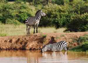 The only animal we ever saw drink out of the waterhole at Enonkishu Conservancy in the Maasai Mara, Kenya