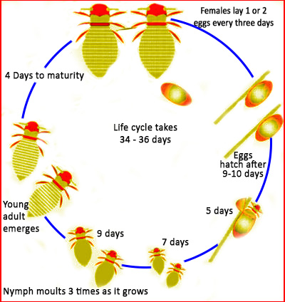 Life cycle of honey bee