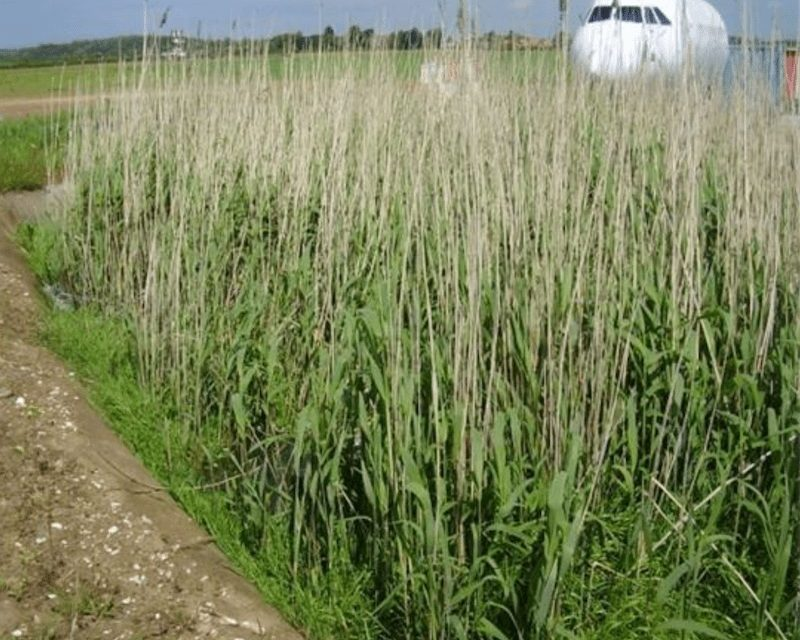 reed bed remediation