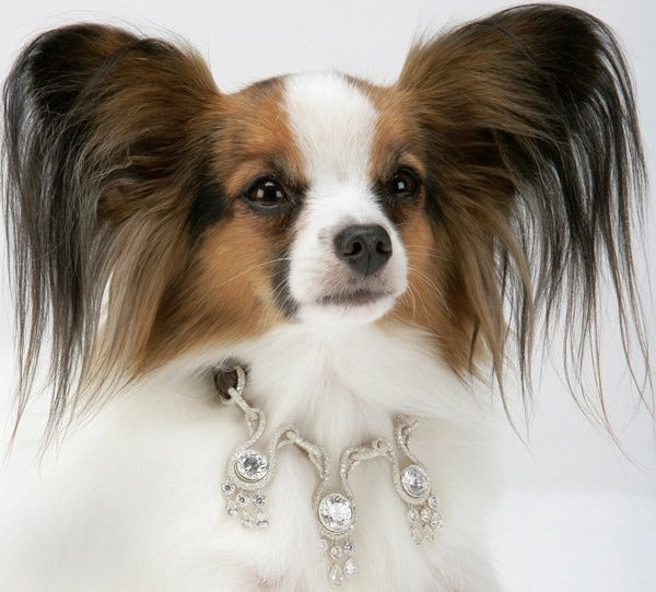 amour amour collar on pomeranian