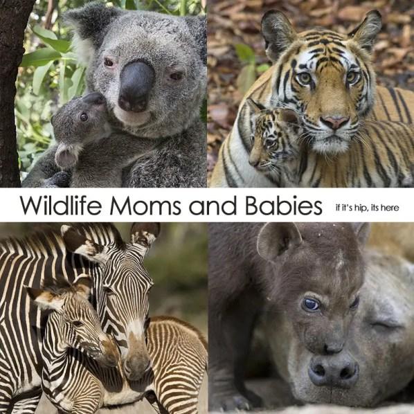 animal moms and baby quad hero IIHIH
