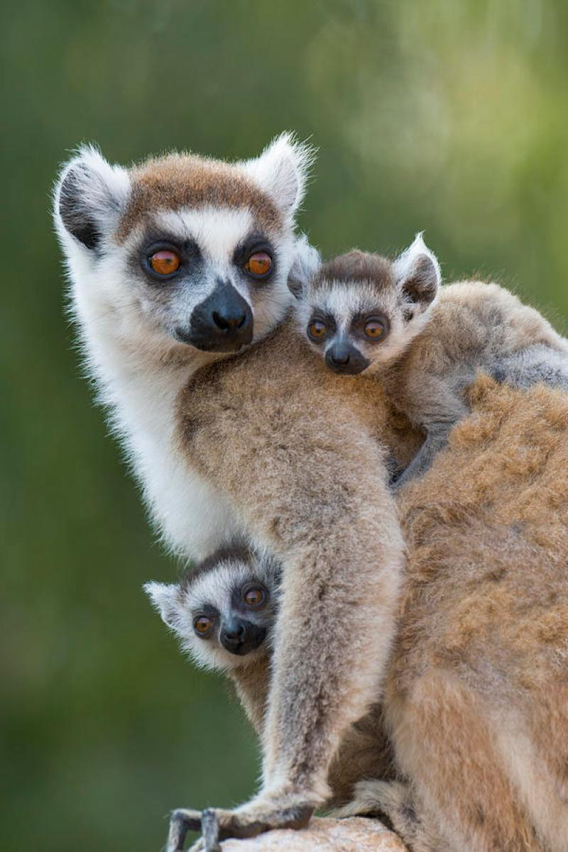 Newborn Baby Koala