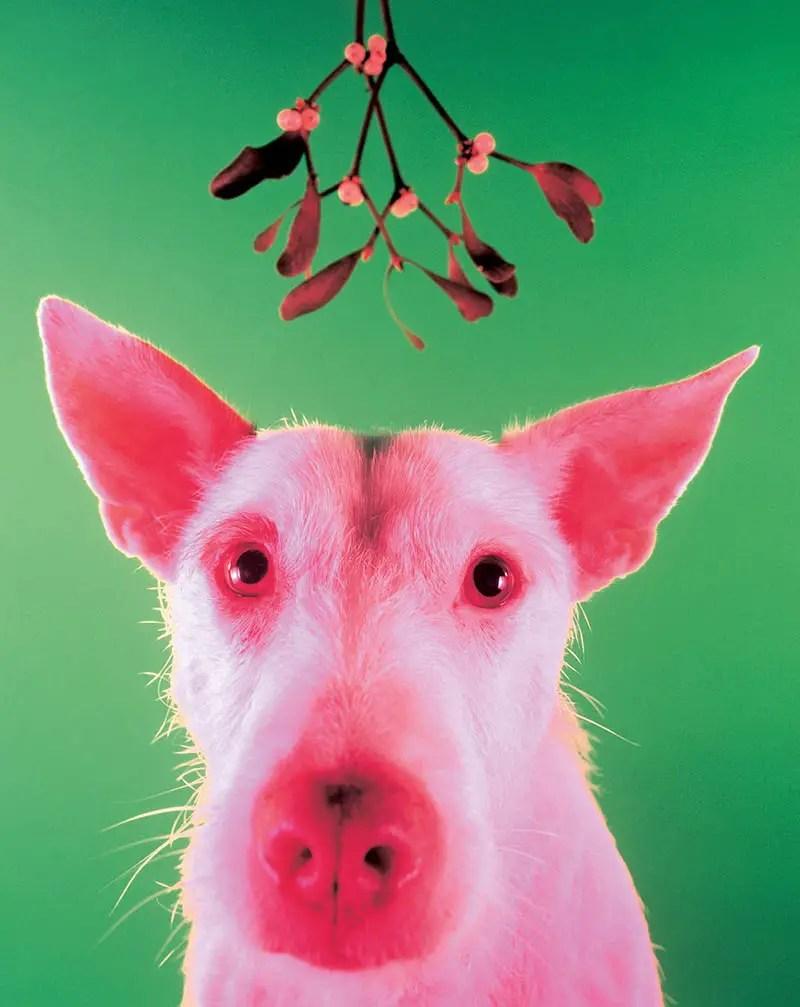 dog under mistletoe