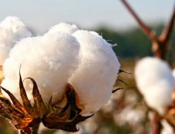 ifmat - Iran to increase land under cotton cultivation