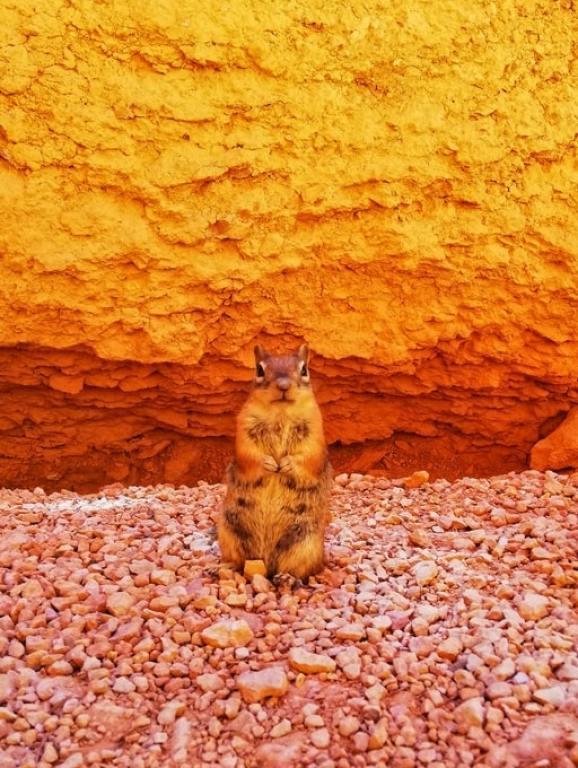 Utah Prairie Dog fauna bryce canyon