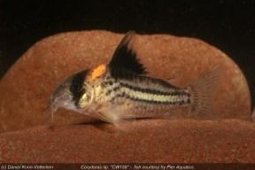 Corydoras sp. CW158