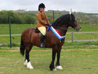 Ridden Champion, the Welsh cob stallion Monahawk Masterpiece