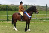 Ridden Champion, the Welsh cob stallion Monahawk Masterpiece