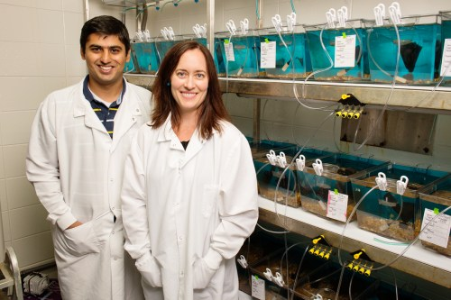 University of Illinois animal biology professor Alison Bell, graduate student Syed Abbas Bukhari and their colleagues tracked changes in gene expression in the stickleback brain after the fish encountered an intruder.