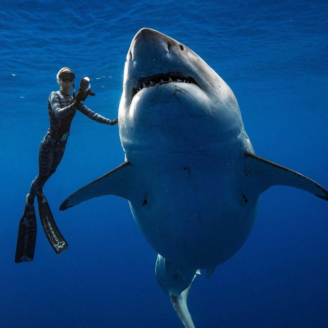 Deep Blue, one of the largest Great White Sharks