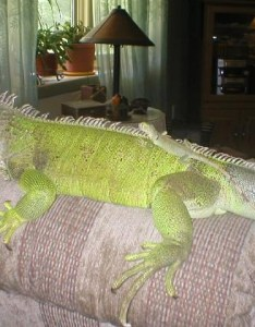 Hatchling ig and year old also the iguana den care growth rh iguanaden