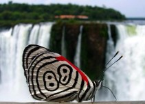 The batterfly in iguazu falls