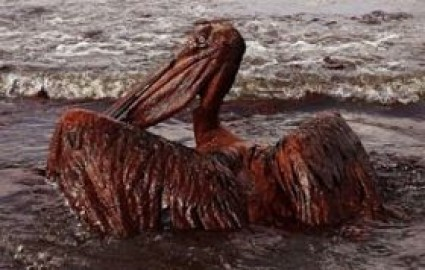 oil-covered-pelican