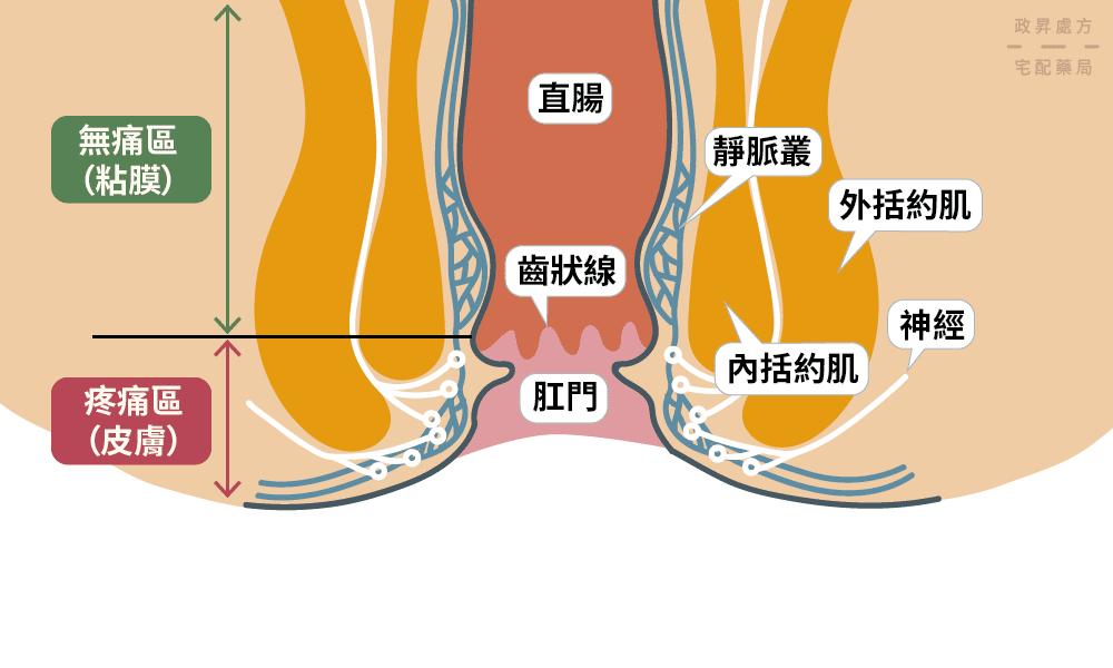 肛門構造的位置介紹