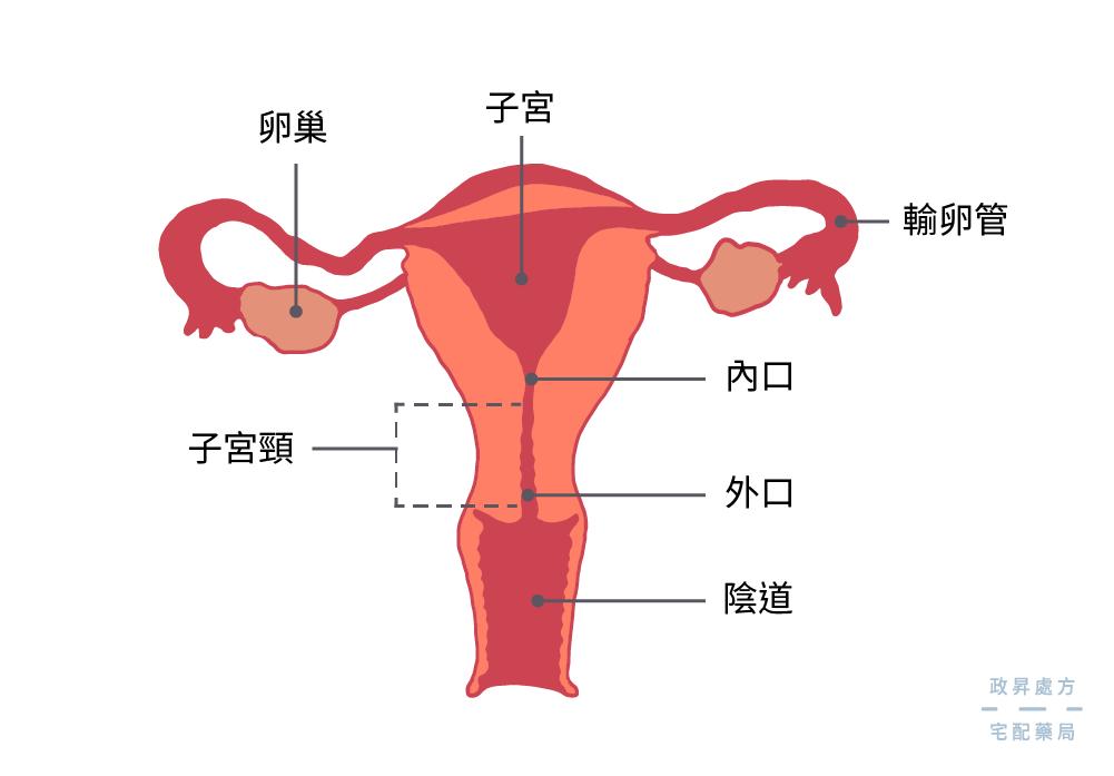 子宮構造正面圖