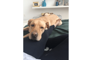 yellow lab sleeping on owners lap