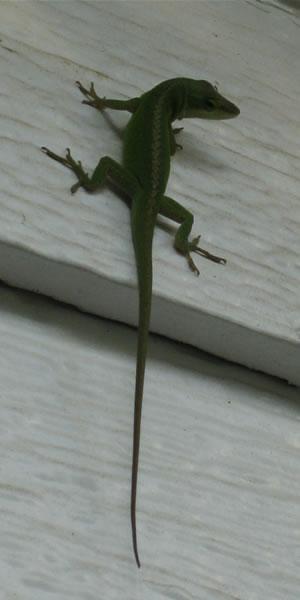 my house lizard, George