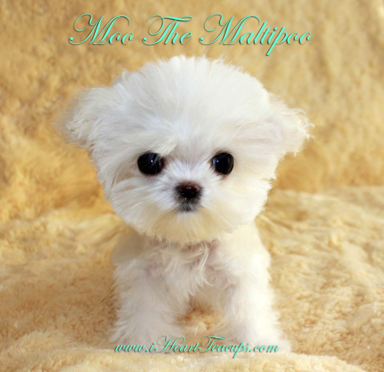 Maltese poodle mix, Maltese poodle and Poodle mix on Pinterest
