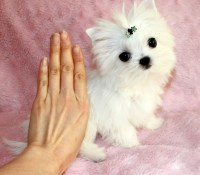 White Teacup Morkie Puppies | www.pixshark.com - Images ...