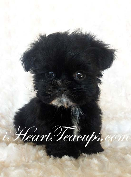 iHeartTeacups  We have beautiful and tiny Teacup and Micro mini sized Tea Puppies for sale in