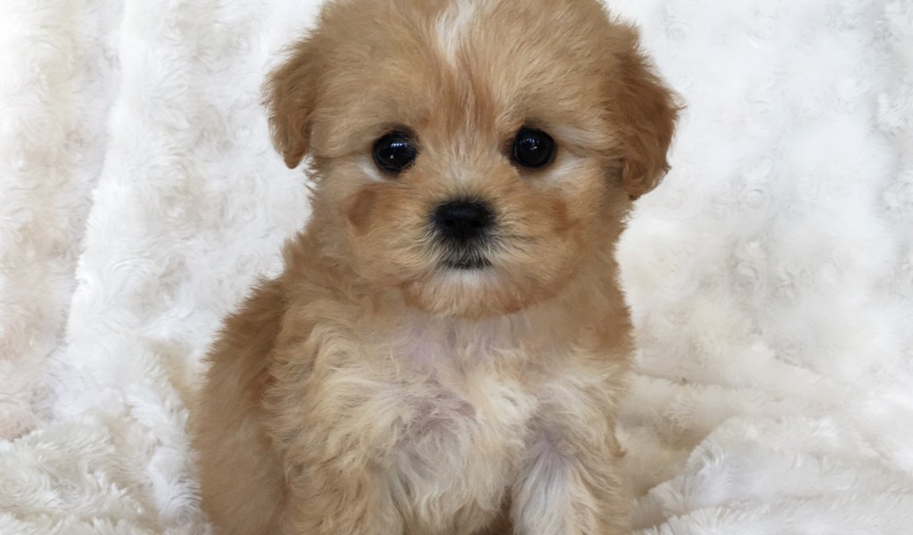 How To Care For Morkie Puppies - Photos of Animals