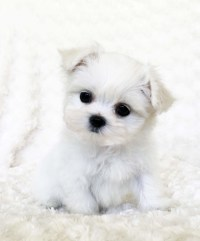White Teacup Puppies | www.pixshark.com - Images Galleries ...