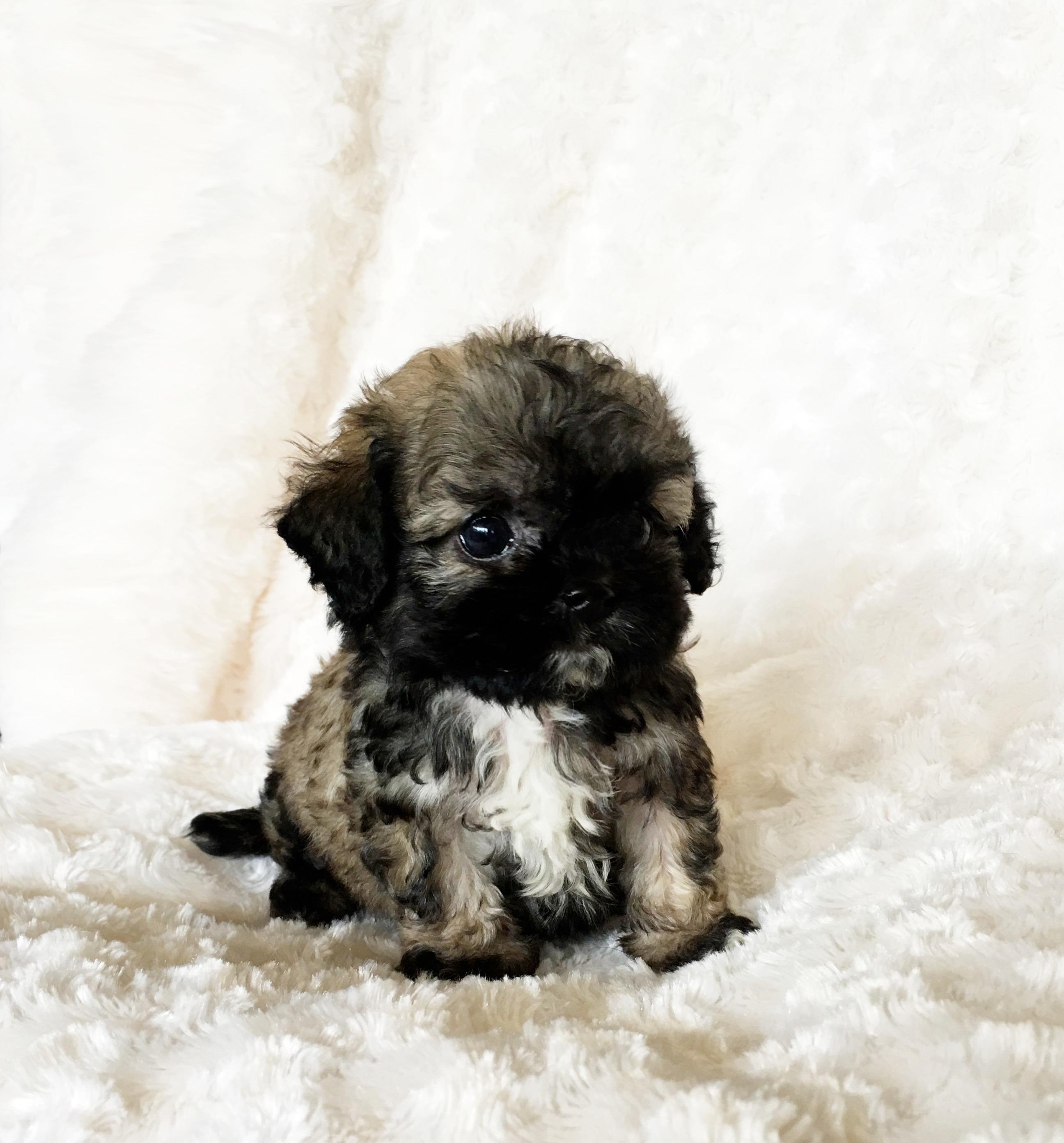 Tiny Teacup Maltipoo Puppy For Sale Cobby Teddy Bear Face  iHeartTeacups