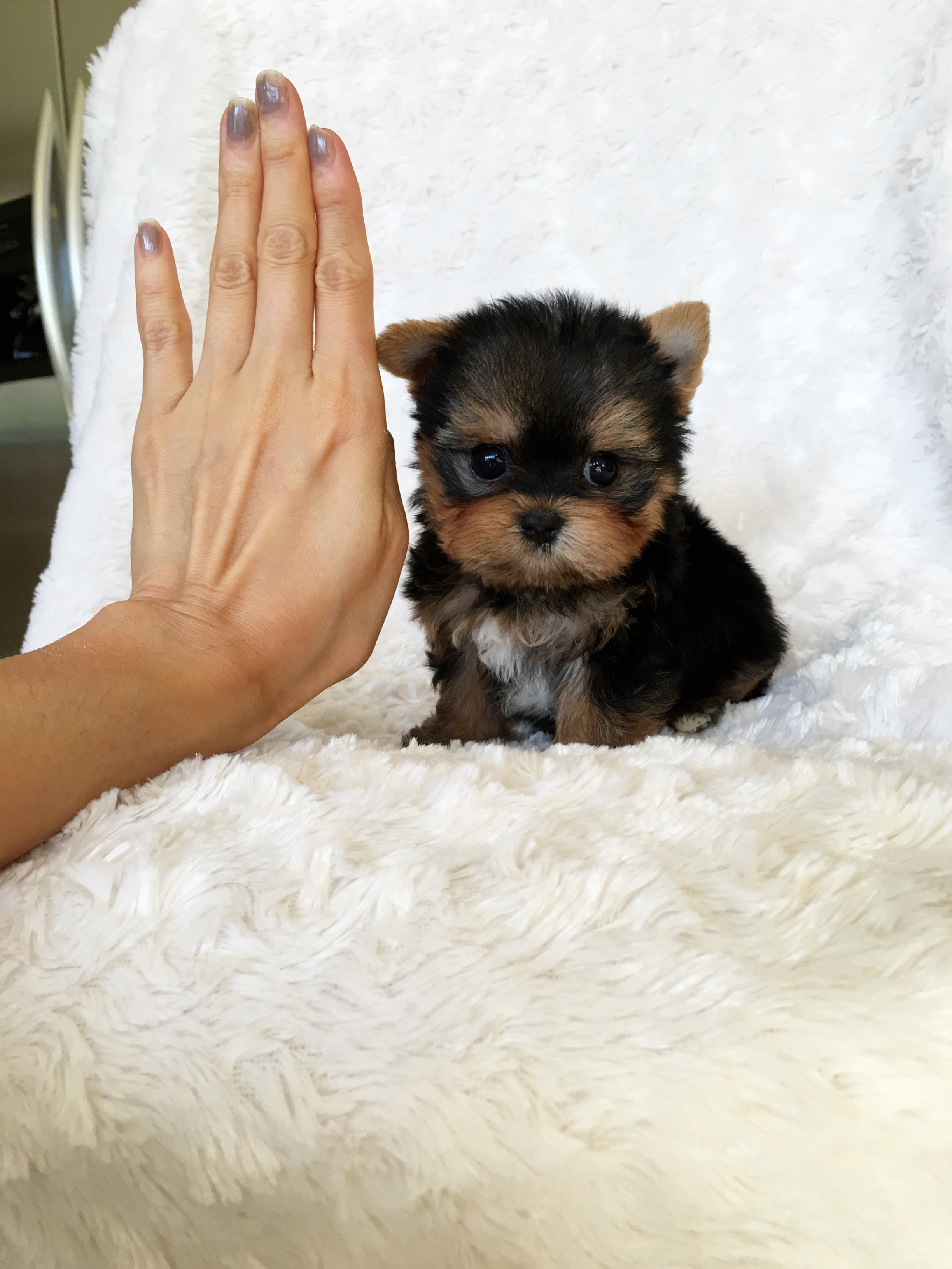 Micro Teacup Yorkshire Terrier Puppy California Breeder  iHeartTeacups