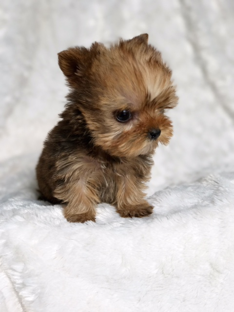 Micro Teacup Morkie Puppy for sale California Buy Puppy  iHeartTeacups