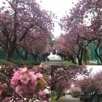 クラファイ⑮ 残り1週間 八重桜は咲き誇り…