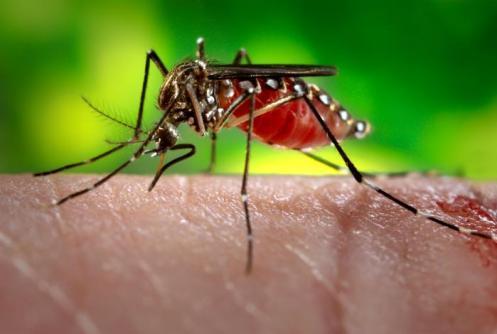 Imagem da fêmea do mosquito Aedes Aegypti, retirada da Biblioteca de Imagens de Saúde Pública do Centers for Disease Control and Prevention