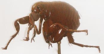 Pulga, Xenopsylla Cheopis