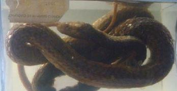 Serpente: Psammophis sibilans