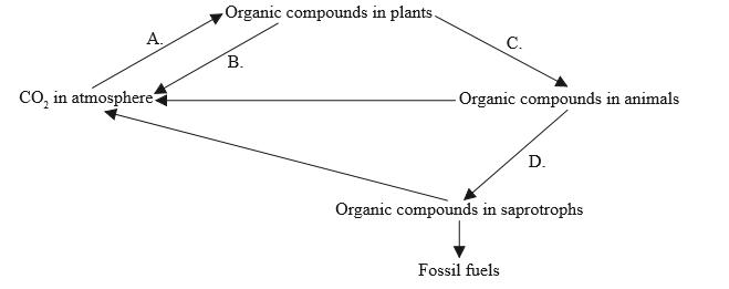 IB DP Biology Topic 4: Ecology : 4.3 Carbon cycling