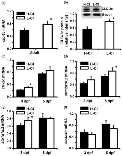 Molecular Physiology of an Extra-renal Cl- Uptake