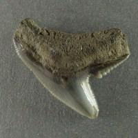 Fossiele haaientanden zoeken in Nederland