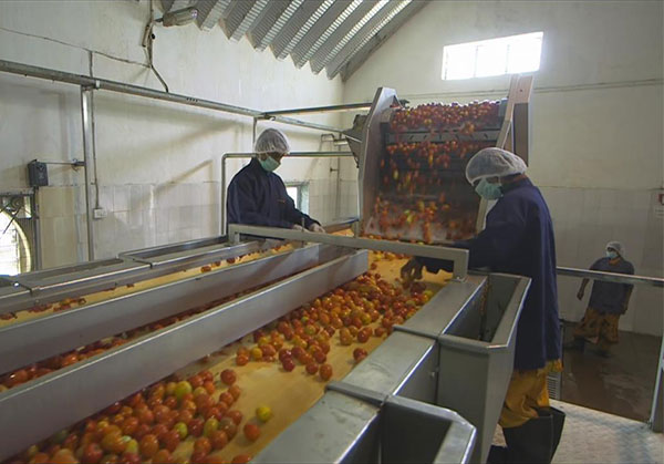Tomato processing business plant