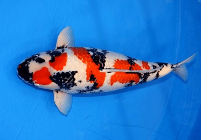 Gambar ikan koi termahal di dunia yang pernah ada | Ikankoi.org