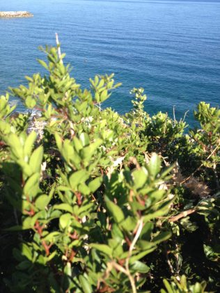 Myrtle berries, the perfect antioxidant