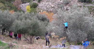 Greek language course & olive harvest