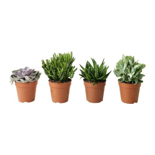 SUCCULENT Plant IKEA