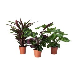 Small Sofas And Armchairs Leather Sofa Repair Montreal Calathea Potted Plant Calathea/assorted 19 Cm - Ikea