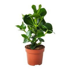 Ikea Arm Chairs Orthopedic Office Clusia Potted Plant 12 Cm -