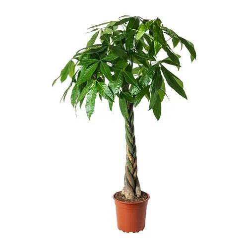 PACHIRA AQUATICA Potted plant Guinea chestnut 27 cm  IKEA