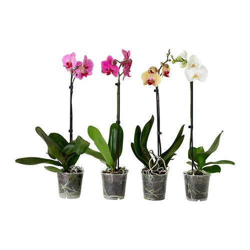 PHALAENOPSIS Potted Plant Orchid1 Stem Assorted Colours