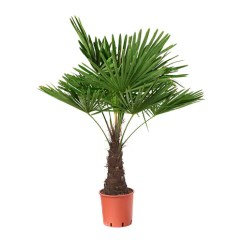Baby Sofas And Chairs Krc Genk U21 Vs Club Brugge Sofascore Trachycarpus Fortunei Potted Plant Windmill Palm 27 Cm - Ikea