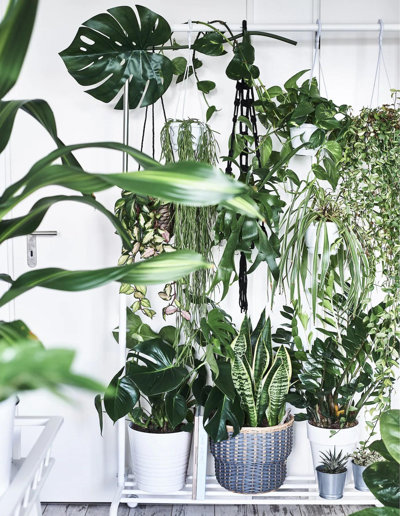 Piante ricadenti da interno, piccole cascate verdi che arredano · rami pendenti, steli rampicanti, infiorescenze allungate: Dove Sistemare Le Piante In Casa Ikea It
