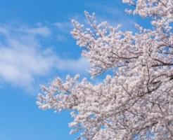 空に映える桜